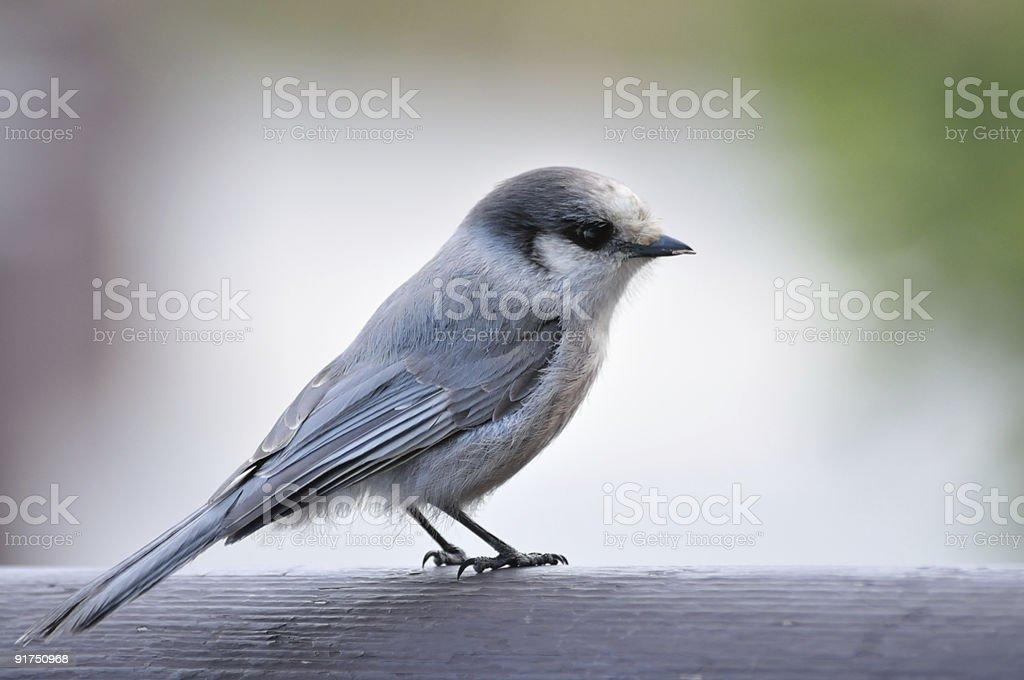 Denali Gray Jay stock photo