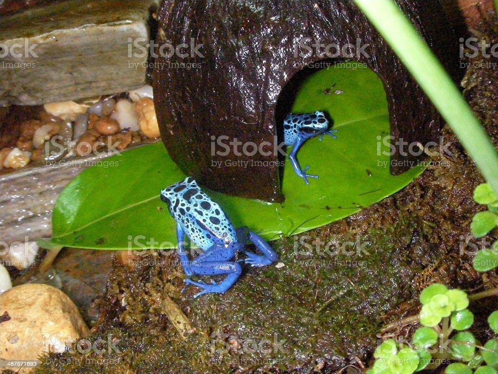 dendrobate azureus poison arrow dart frog stock photo