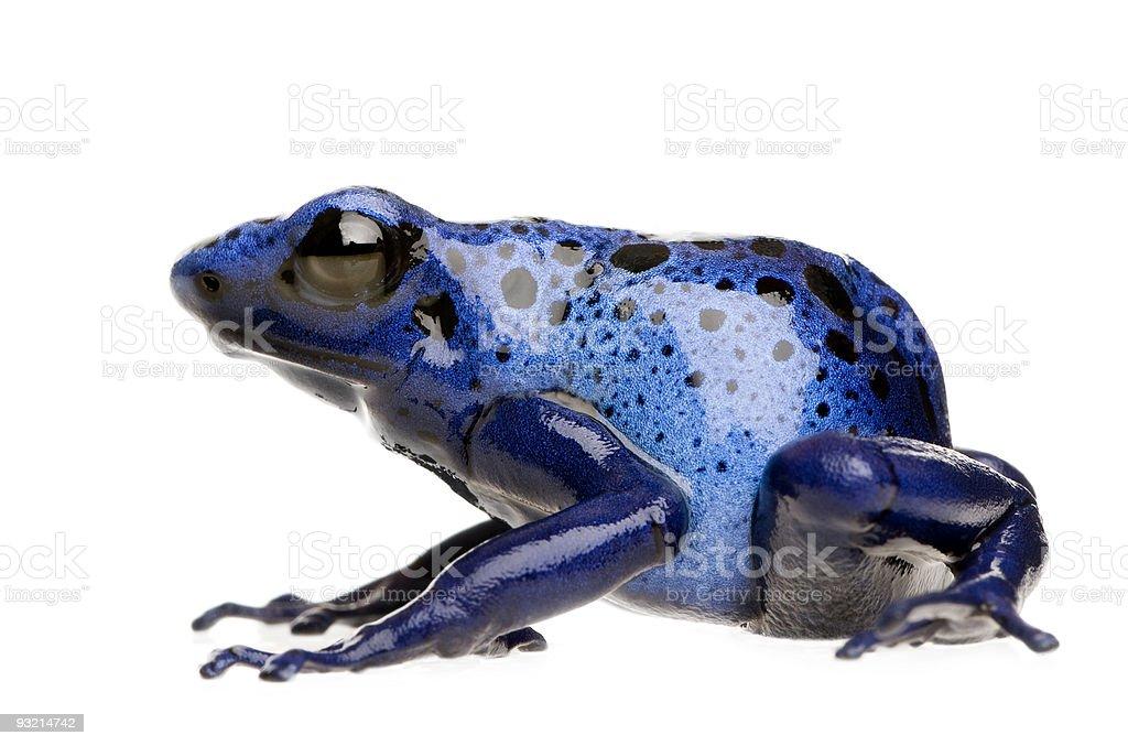 Dendrobates azureus stock photo