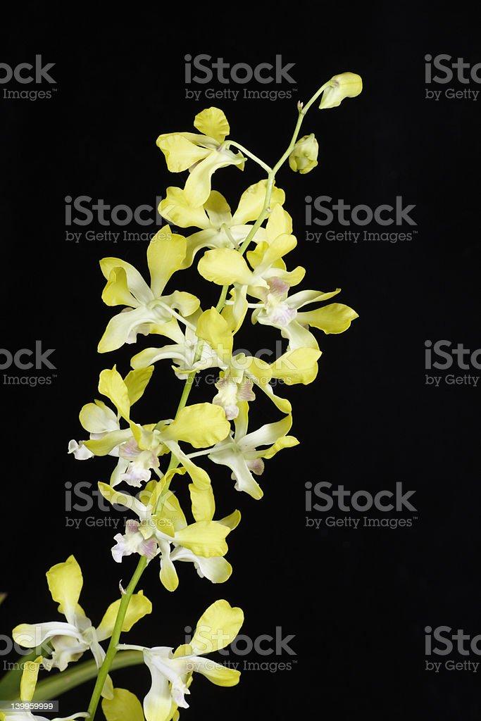 Dendrobium Banana Royal 'Sunshine' royalty-free stock photo