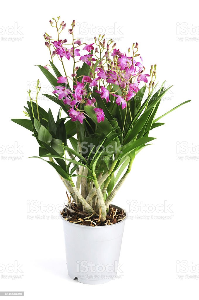 Dendrobium Berry Oda orchid in flower pot on isolated background stock photo