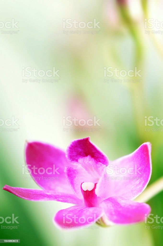 Dendrobium Berry Oda orchid on green white background stock photo