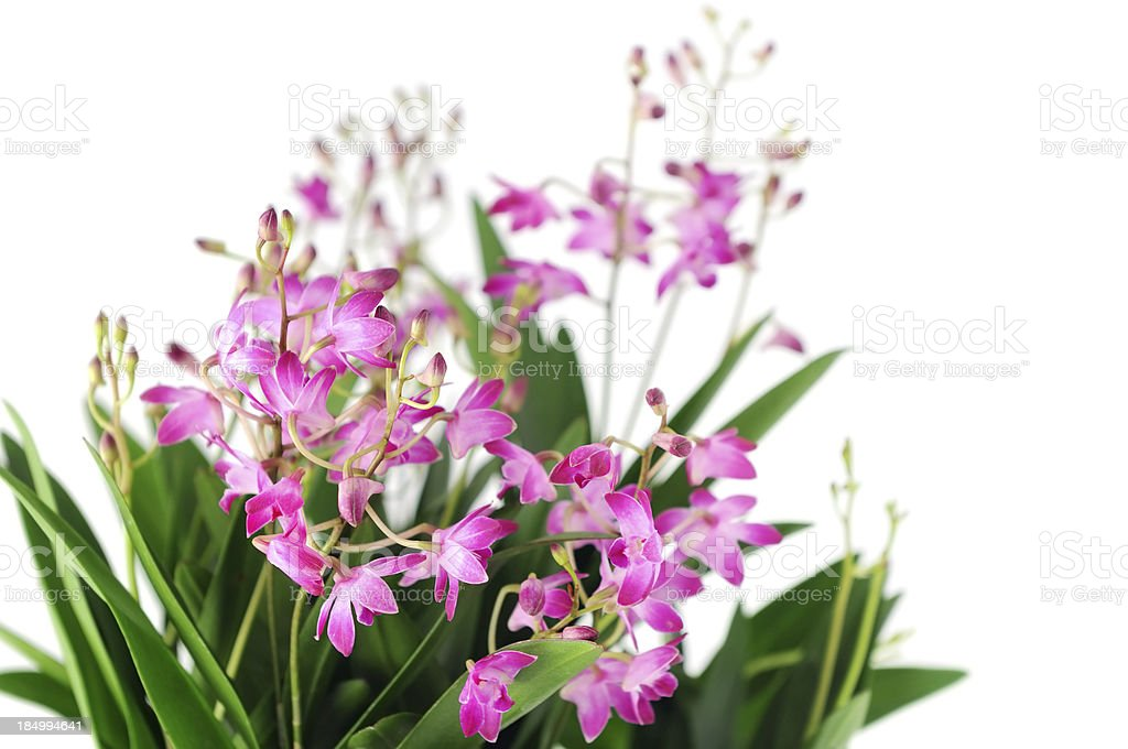 Dendrobium Berry Oda orchid on isolated background stock photo