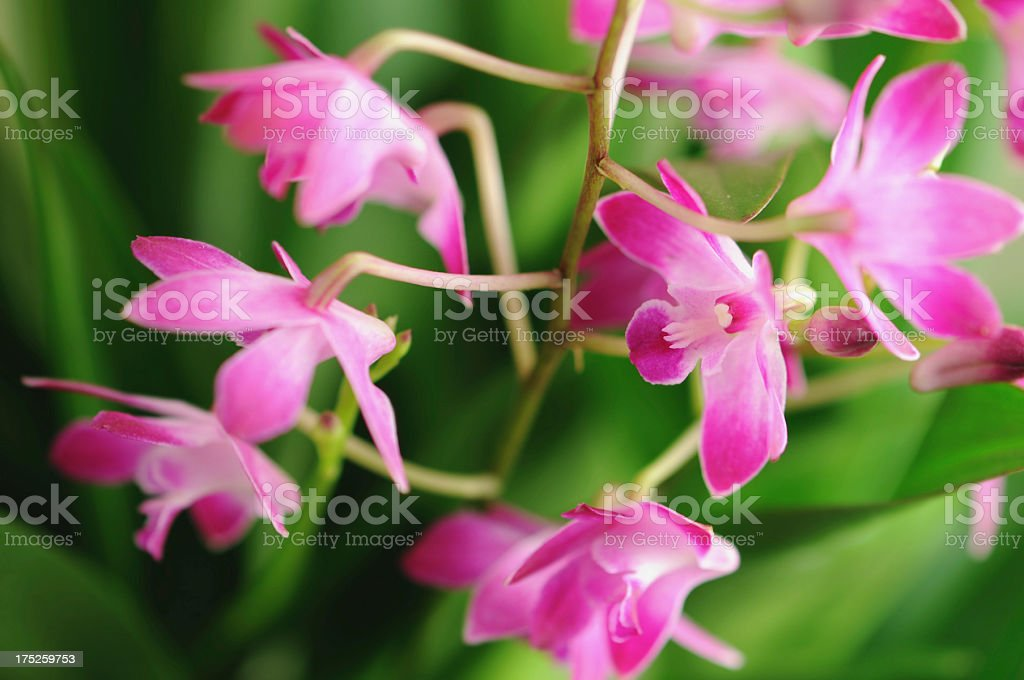 Dendrobium Berry Oda orchid royalty-free stock photo