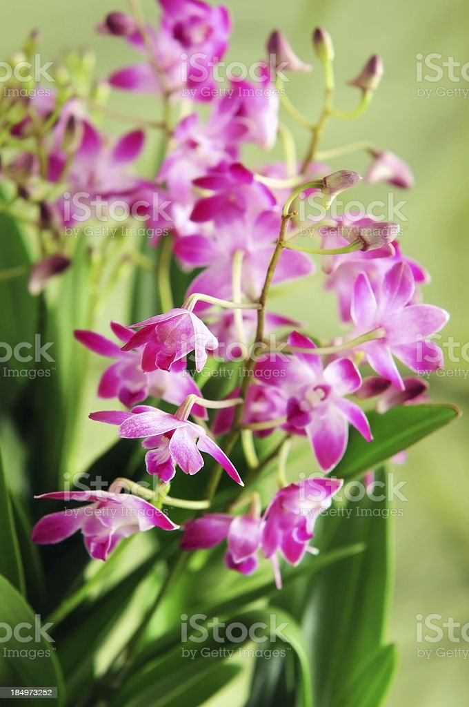 Dendrobium Berry Oda orchid stock photo