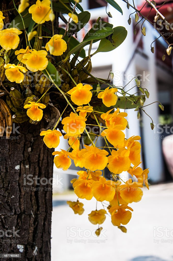 Dendrobium chrysotoxum Lindl, yellow orchid stock photo