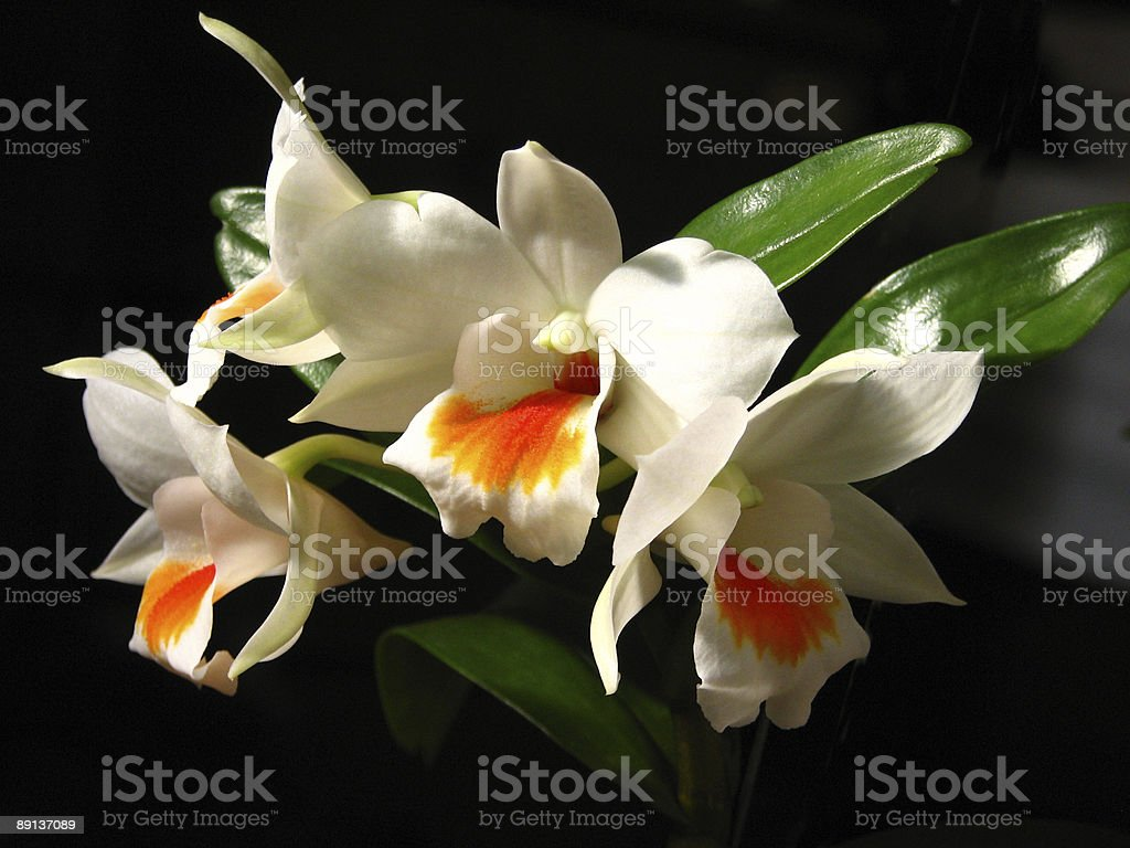 Dendrobium Dawan Marie royalty-free stock photo
