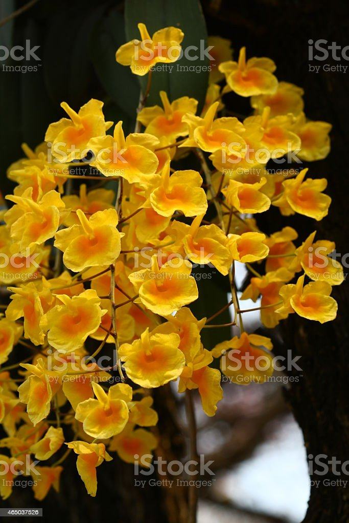 Dendrobium lindleyi is wild orchid in Thailand stock photo