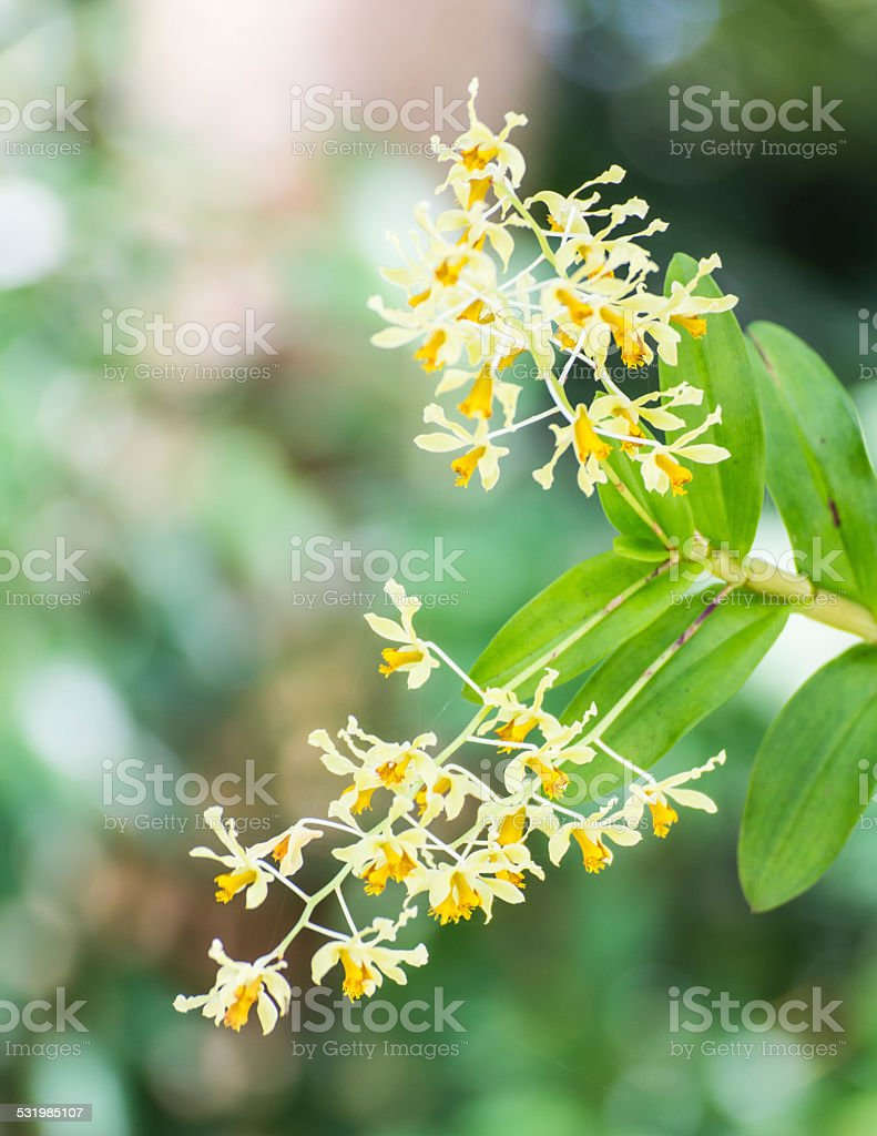 Dendrobium lindleyi orchid flower stock photo