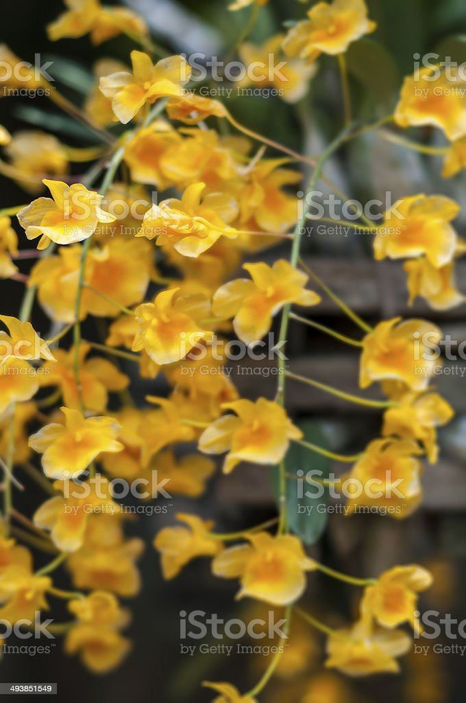 Dendrobium Lindleyi orchid. stock photo