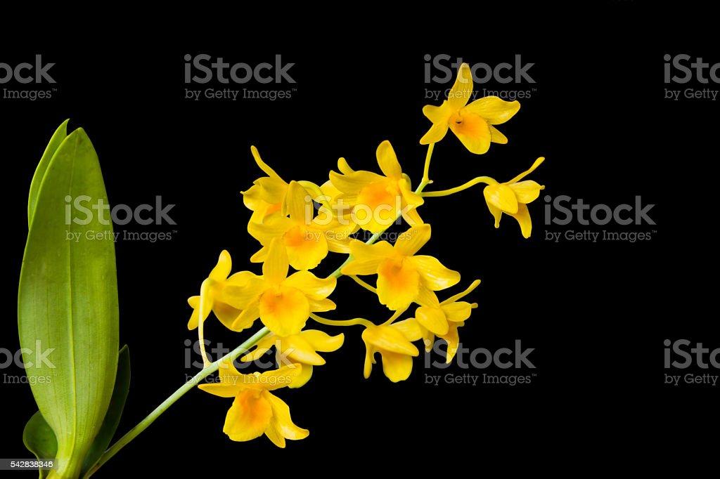 Dendrobium lindleyi Steud on isolated black background stock photo