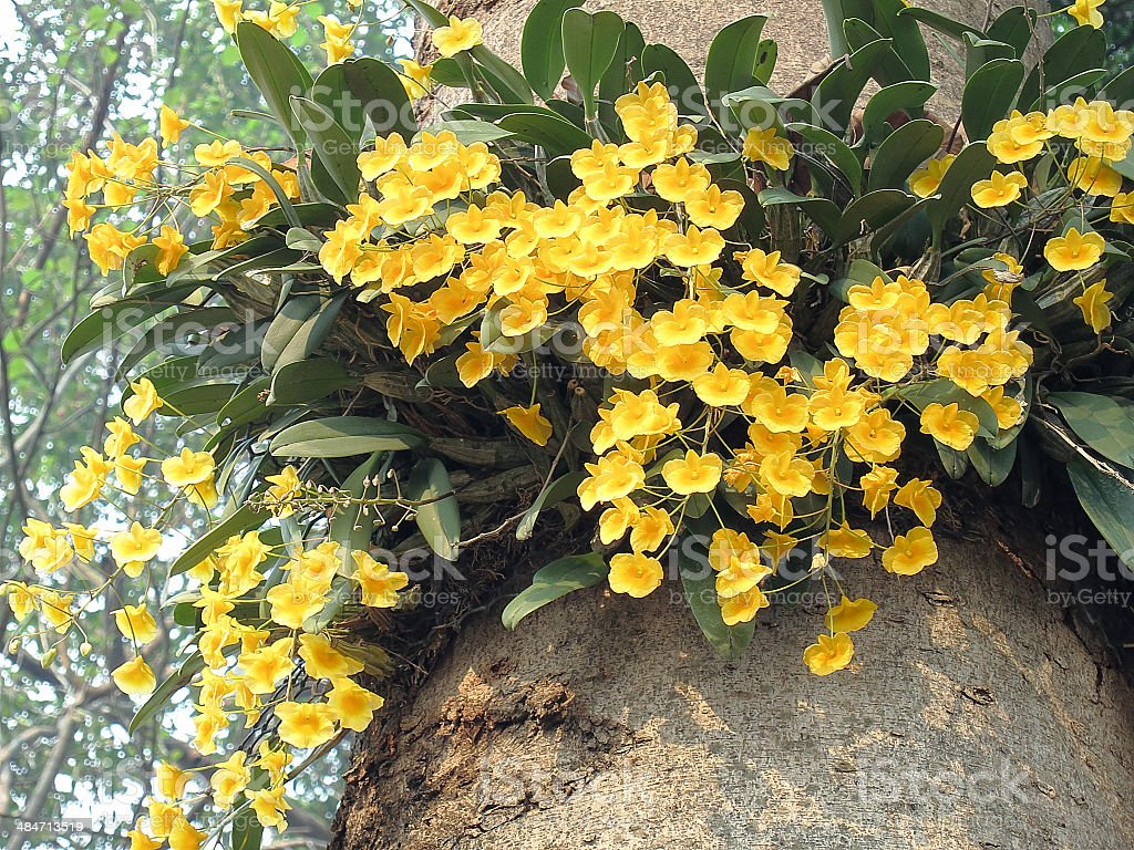 Dendrobium lindleyi Steud (orchid) stock photo