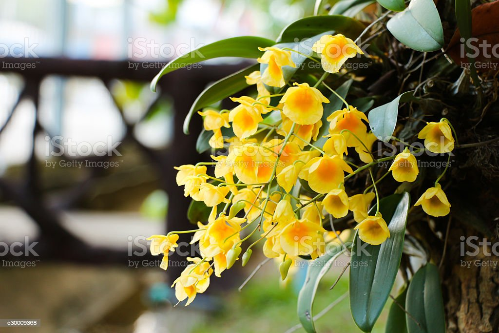 Dendrobium lindleyi steud stock photo
