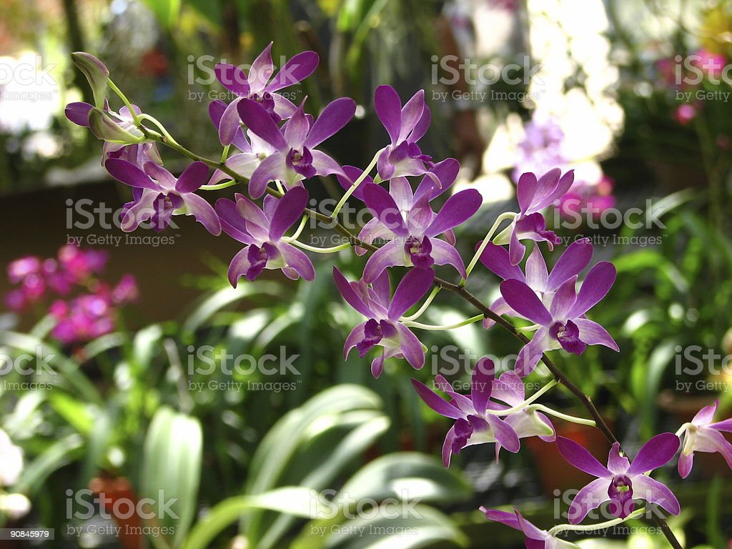 Dendrobium Mini Hybrid royalty-free stock photo