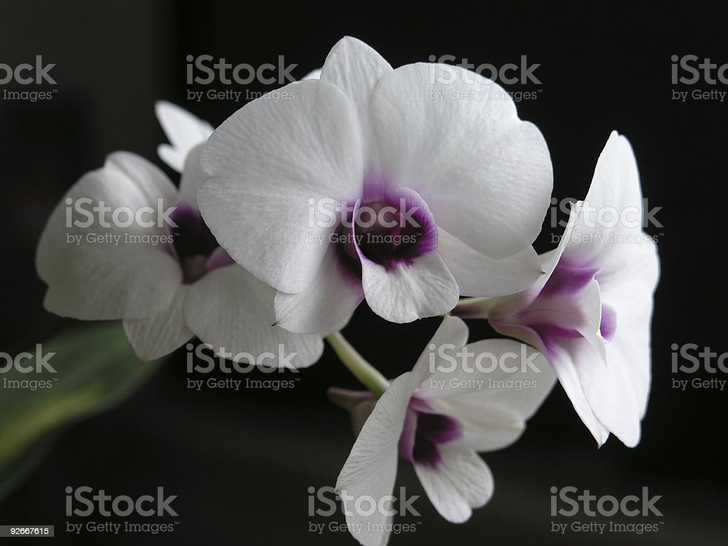 Dendrobium 'Mini/White' royalty-free stock photo