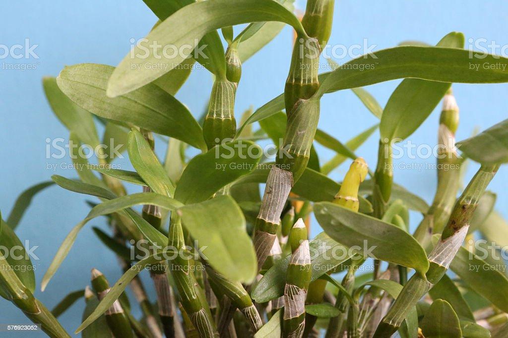 Dendrobium Nobile Lindl stock photo