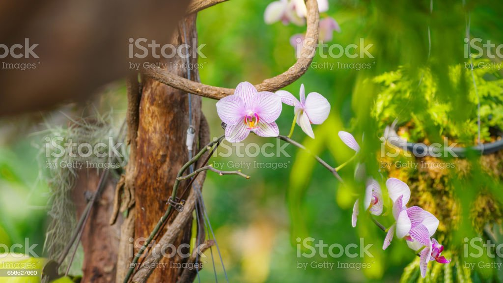 Dendrobium orchid, beautiful pink and white flowers in the garden. stock photo