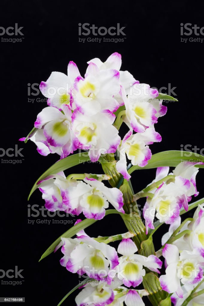 Dendrobium Orchid hybrids. Isolated on black stock photo