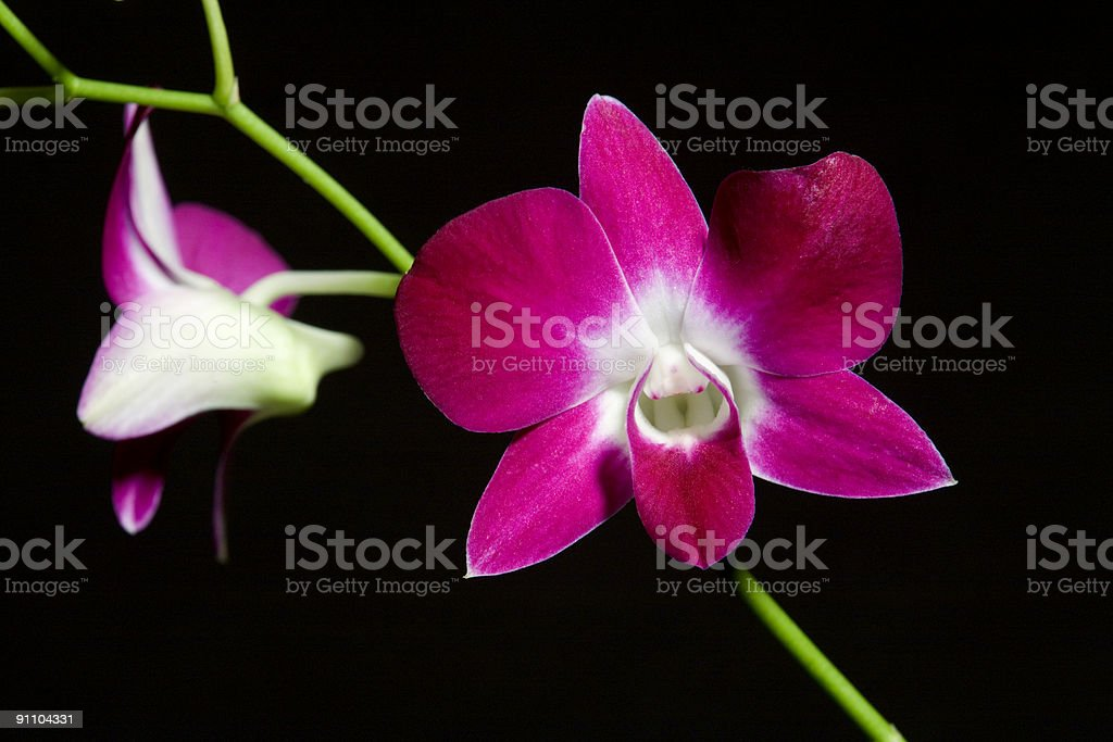 Dendrobium orchid on black background royalty-free stock photo