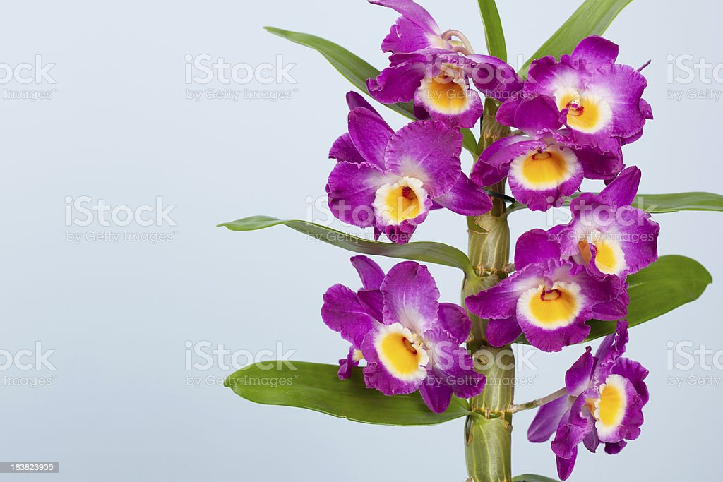 Dendrobium orchid royalty-free stock photo