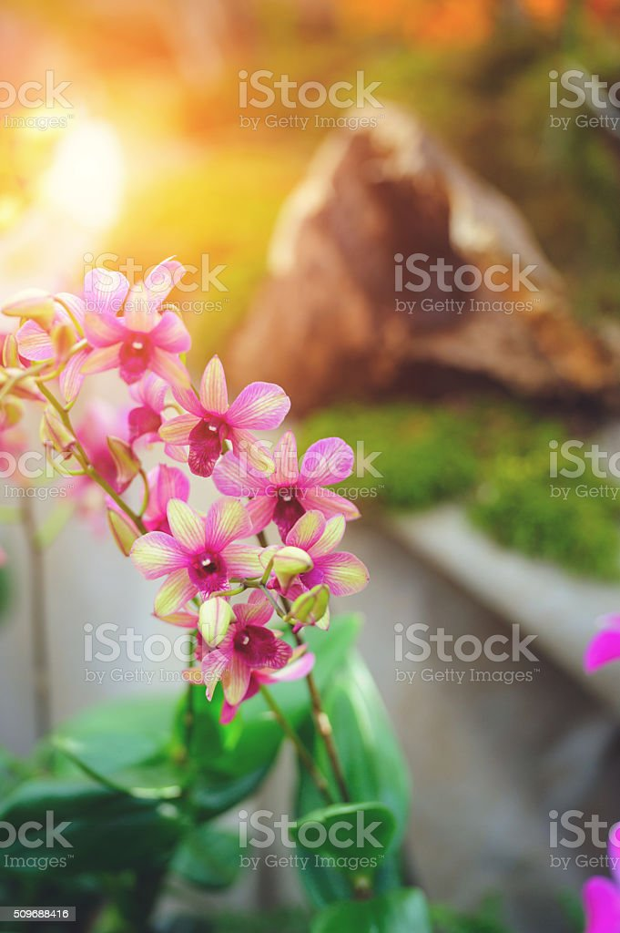 Dendrobium orchid stock photo