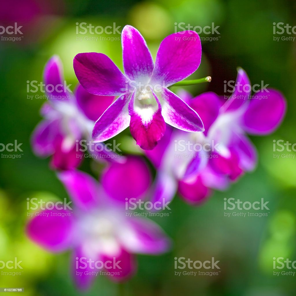 Dendrobium Orchid stock photo