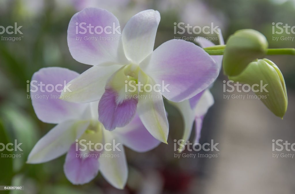 Dendrobium orchid. stock photo