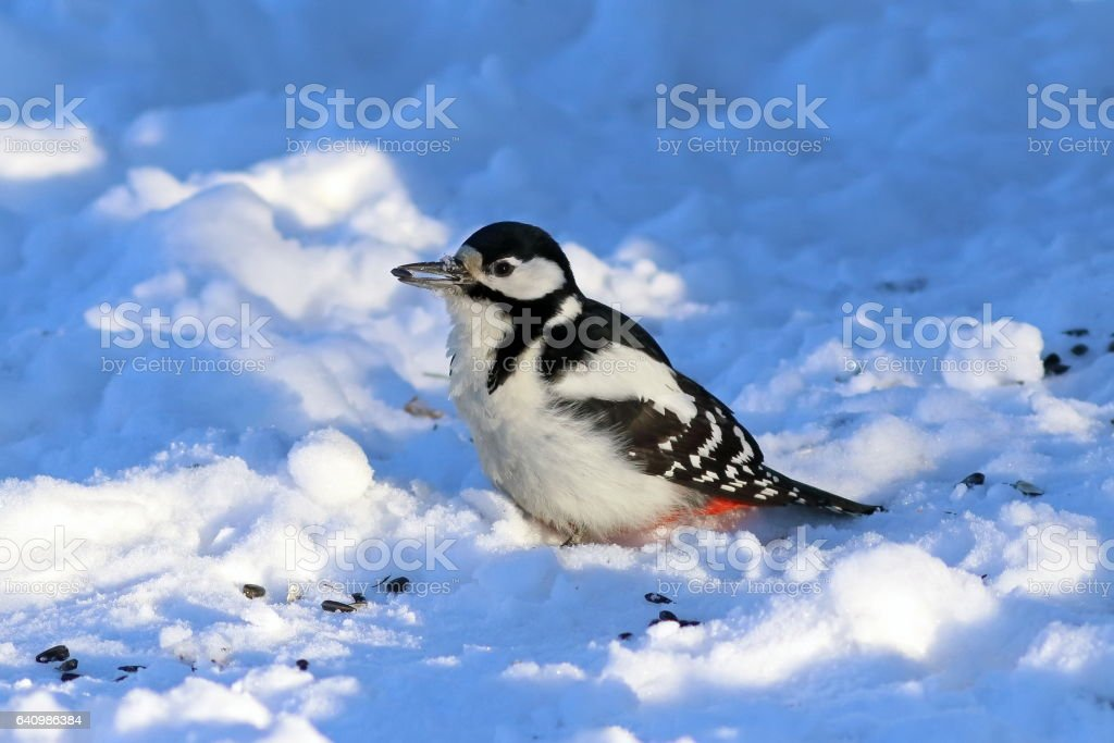 Dendrocopos major. Great spotted woodpecker in the snow stock photo
