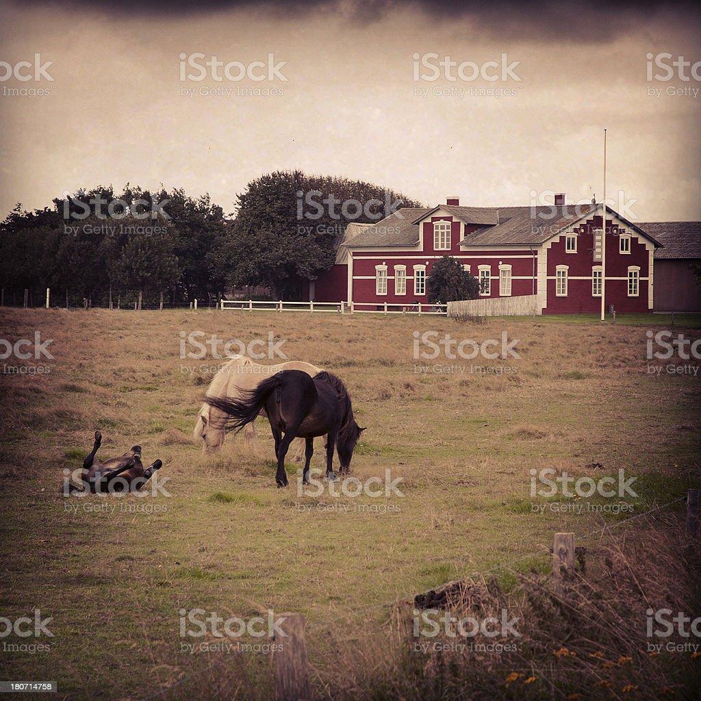 Denmark, horses royalty-free stock photo