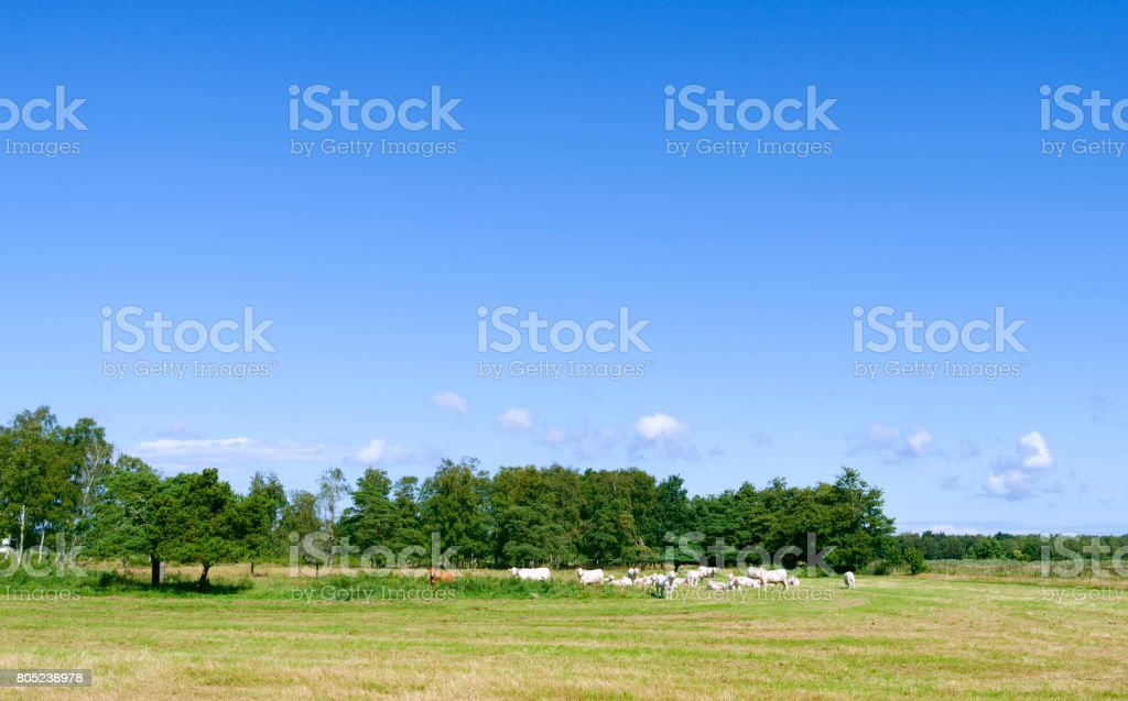 Denmark: One brown and several white cows on their summer pasture on Laesoe island stock photo