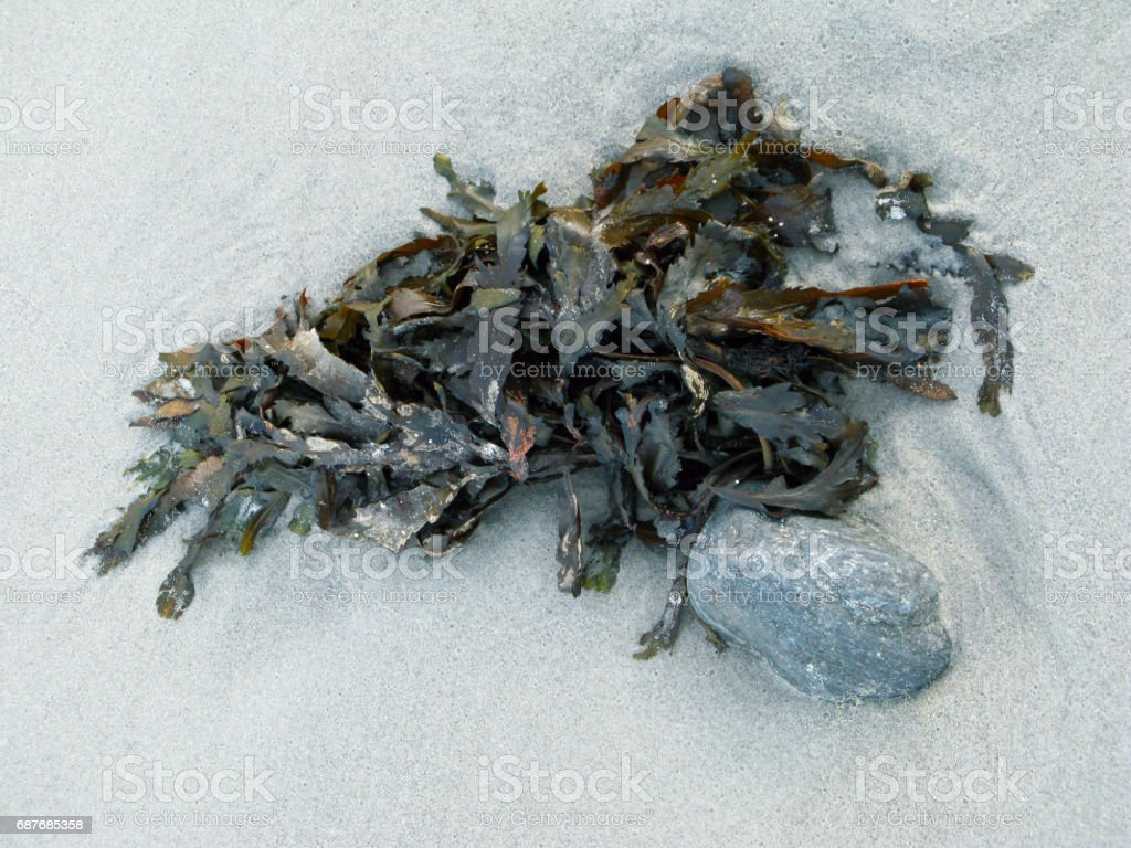 Denmark: Washed up seaweed on a beach in North Jutland stock photo