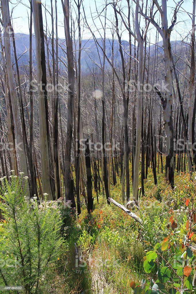 Dense forest of alpine trees in the Victorian Alps stock photo