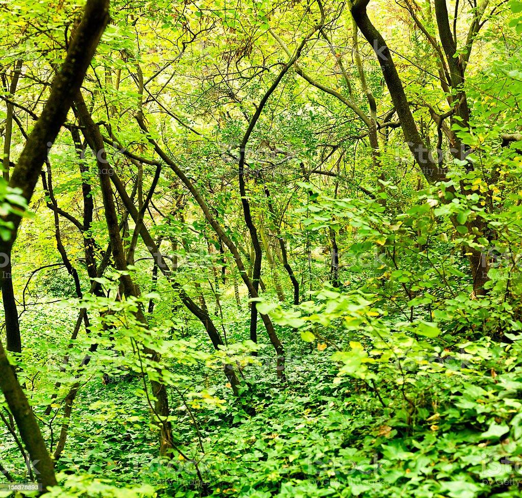Dense forest (stitched; Medium Format Camera) stock photo