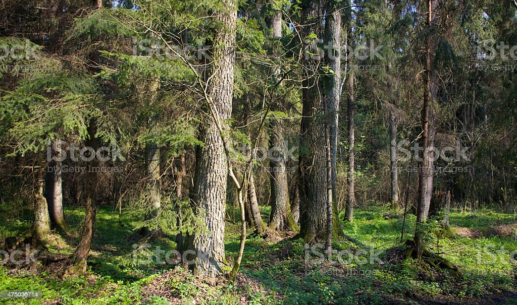 Dense forest with old alder tree in foreground stock photo