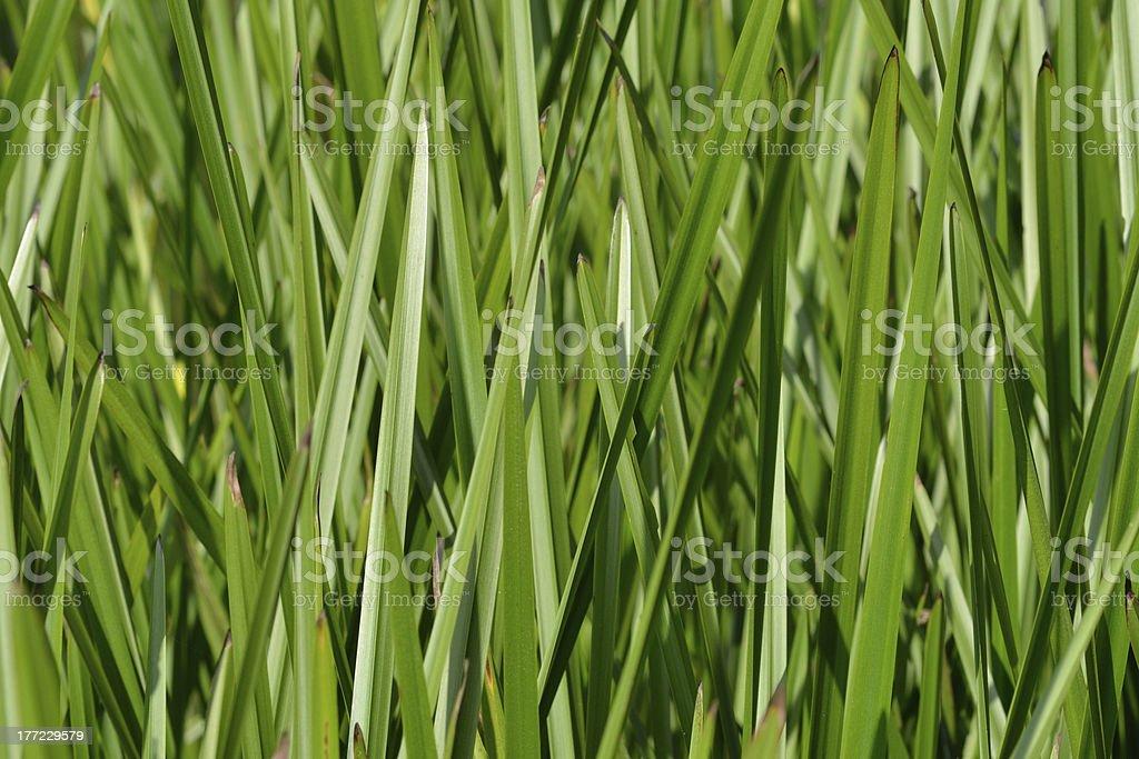 dense Green reeds royalty-free stock photo