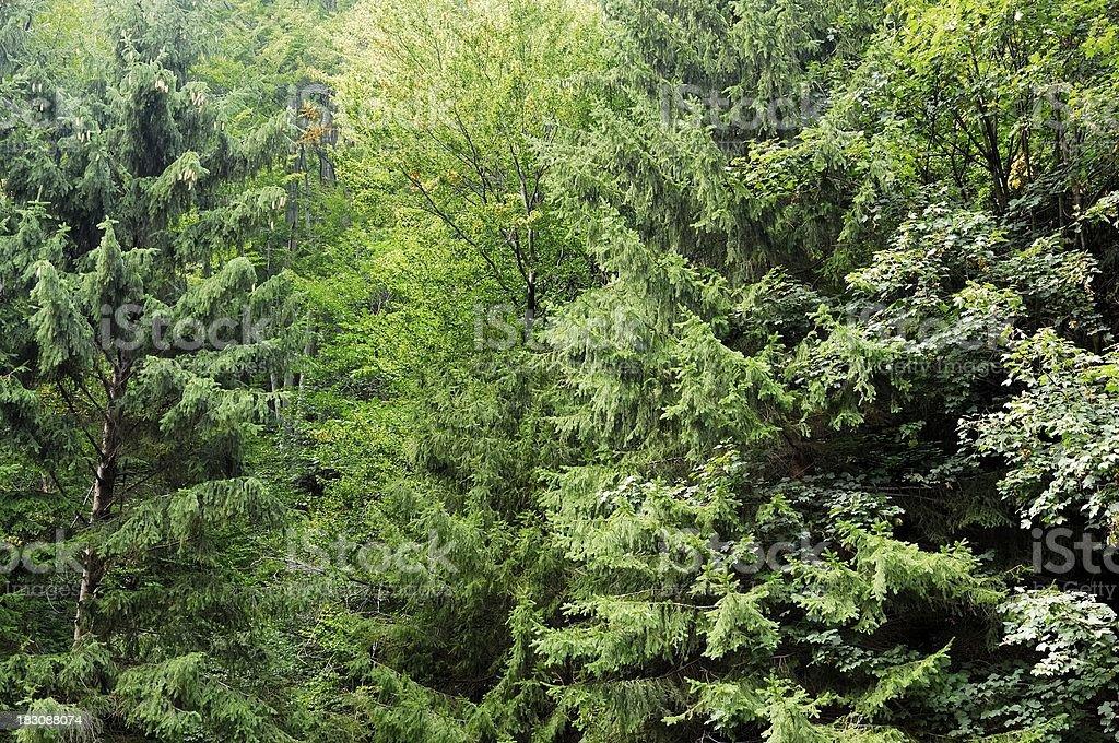 Dense Mountain Forest stock photo