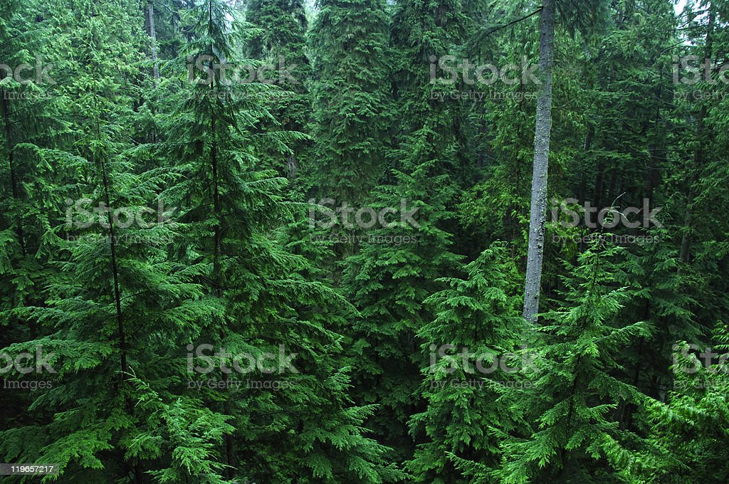 Dense pine forest royalty-free stock photo