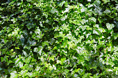 Dense thickets of a liana on a wall