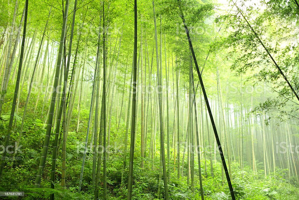 A densely planted bamboo forest stock photo