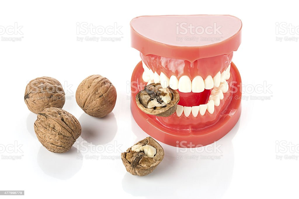 dental jaw model with walnuts stock photo
