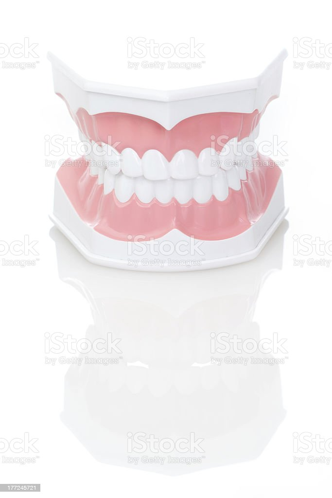 Dental Model of Teeth stock photo