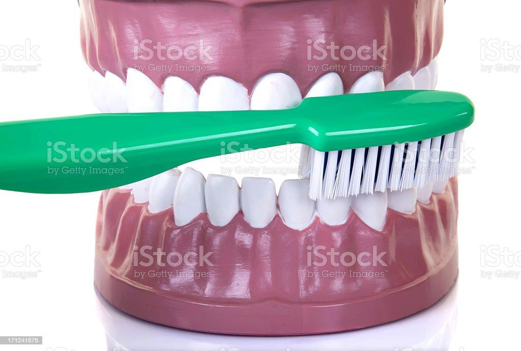 Dentist's sample teeth royalty-free stock photo