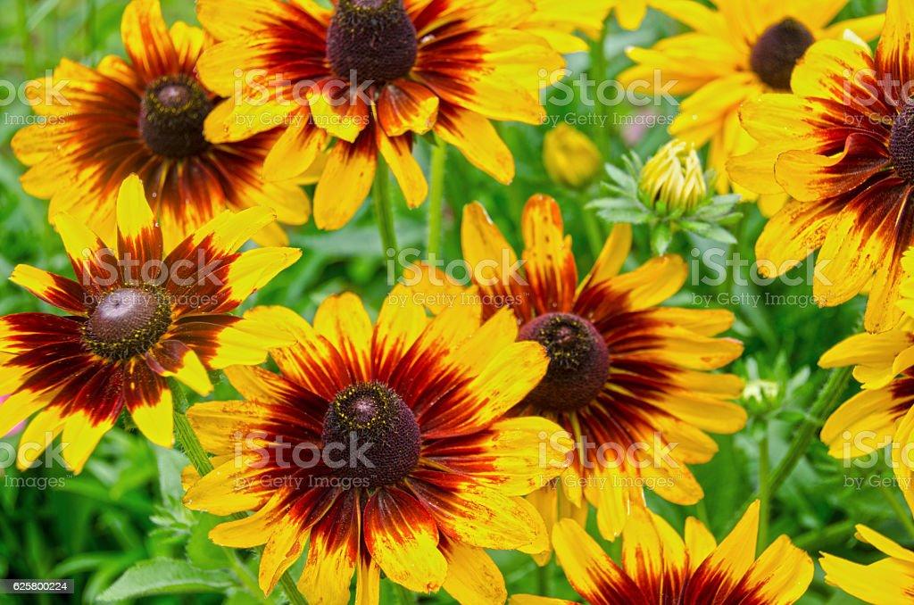 Denver Daisy Black Eyed Susans in Full Bloom stock photo