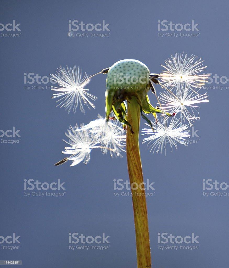 Depleting dandelion head stock photo