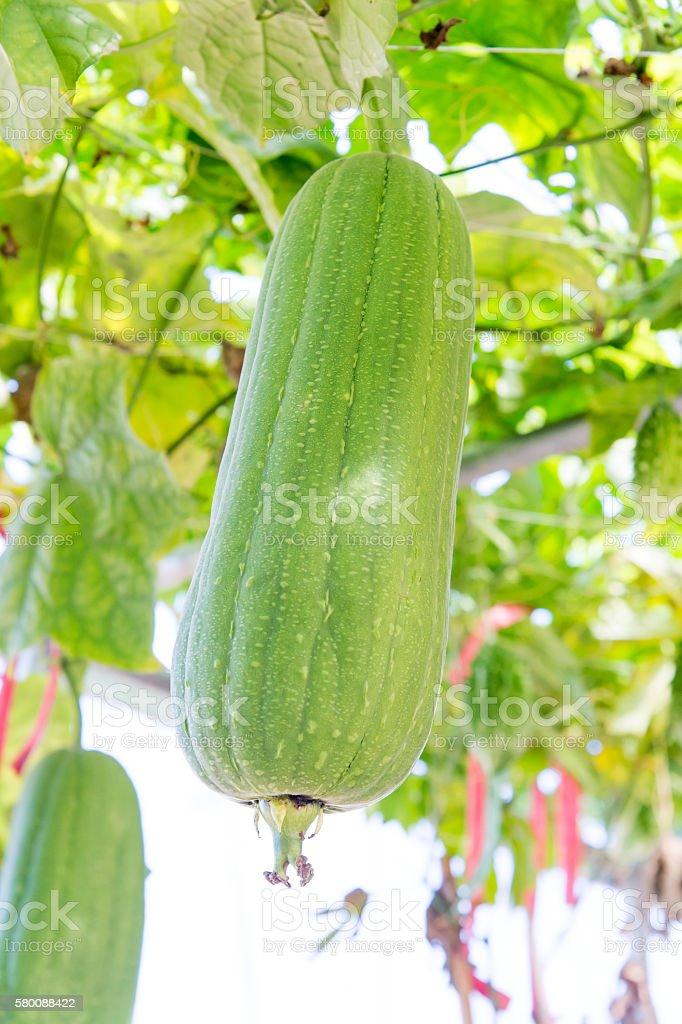 L. depressa (short loofah) in a garden stock photo