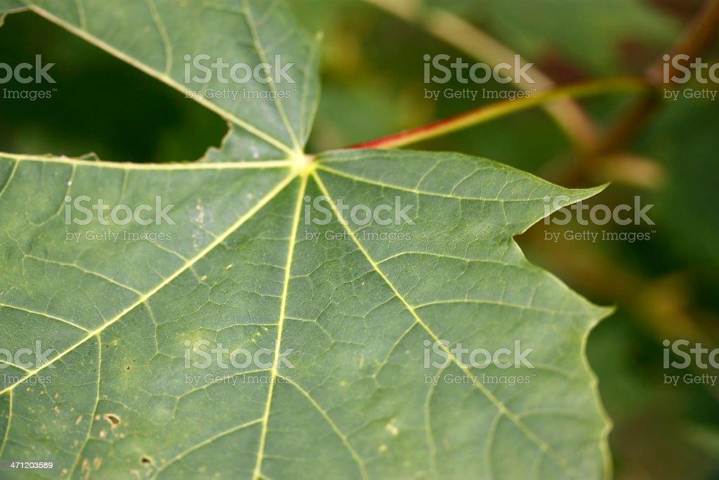 Depth of Field Maple Leaf macro background. stock photo