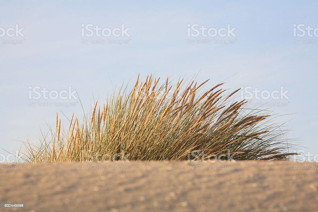 depth view of Dune grass stock photo