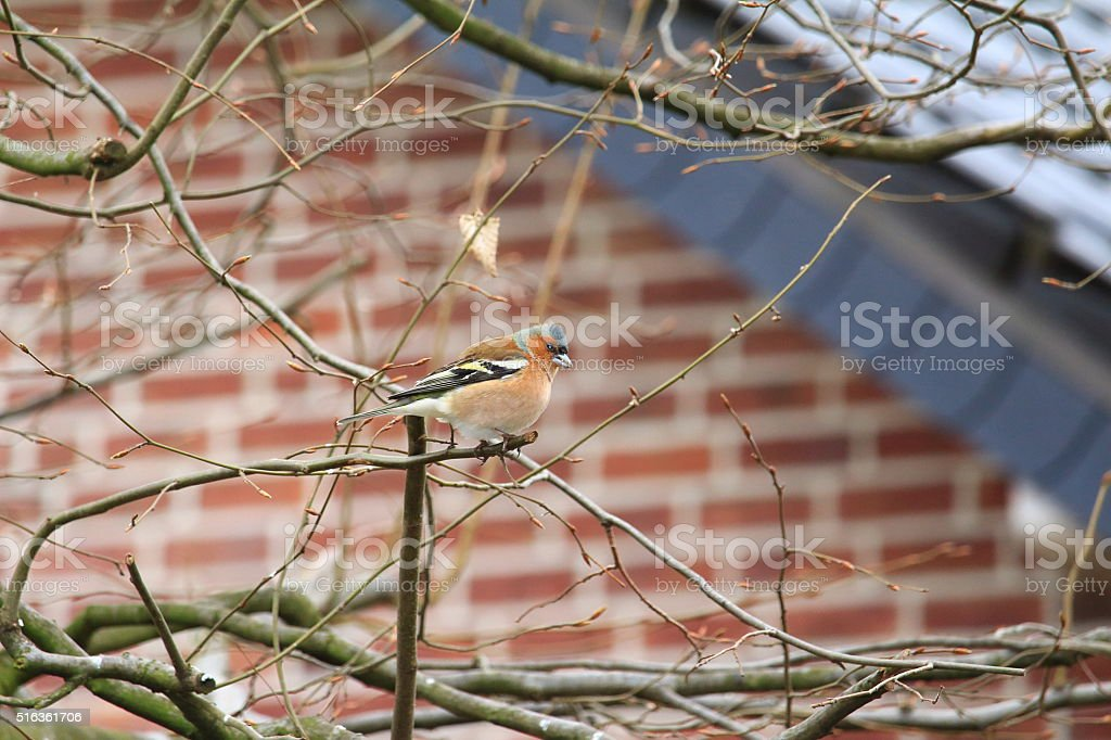 Der Buchfink (Fringilla coelebs) stock photo