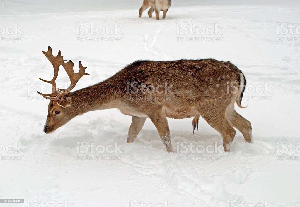 Derr in the Winter stock photo