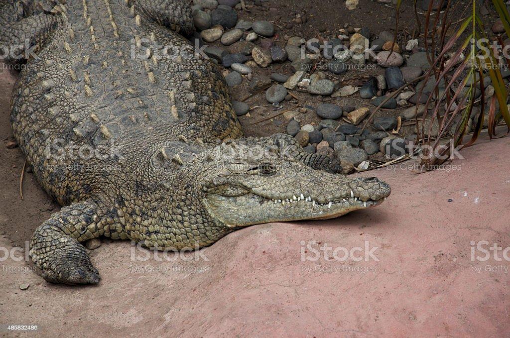 Descending crocodile stock photo